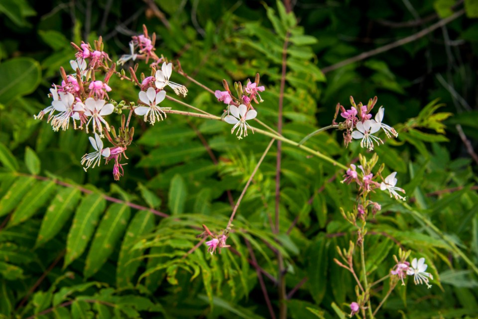 Large Flowered Gaura  - Single Stalk