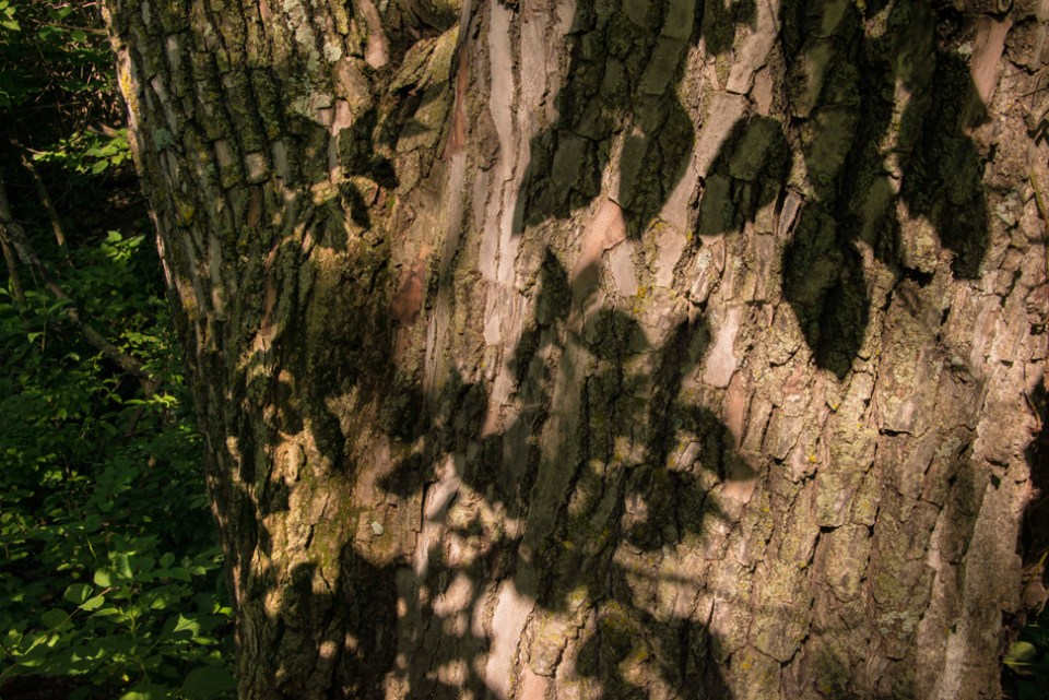 Leaf Shadows on a Big Cottonwood Trunk