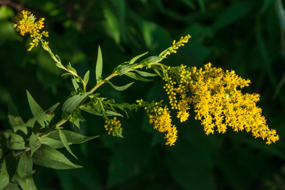 Missouri Goldenrod Flowering