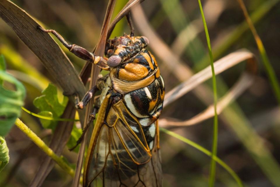Prairie Cicada