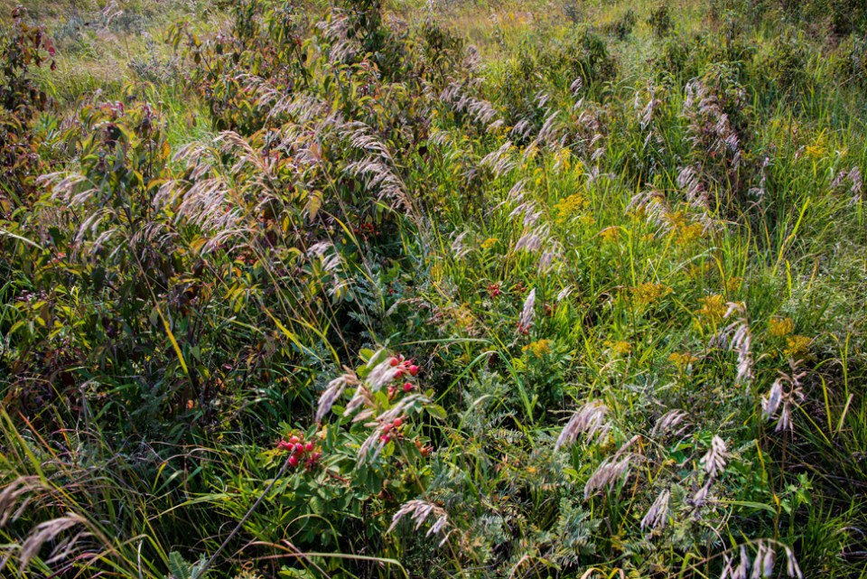 Rag-tag Patch of Prairie with Rose Hips