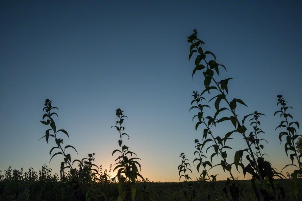 Sunflower Stalks Just Before Dawn