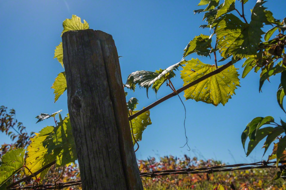 Wild Grape Vine -Leaves and a Fence Post