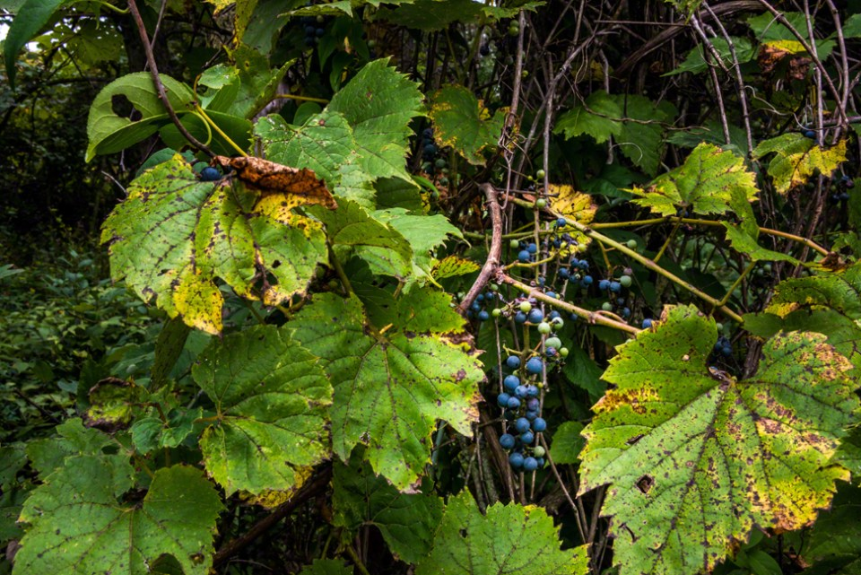 Wild Grapes - Wide