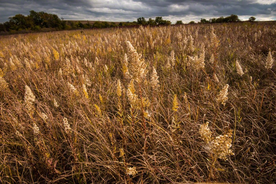 A Field of Fluffy Goldenrod Heads with Threatening Skies