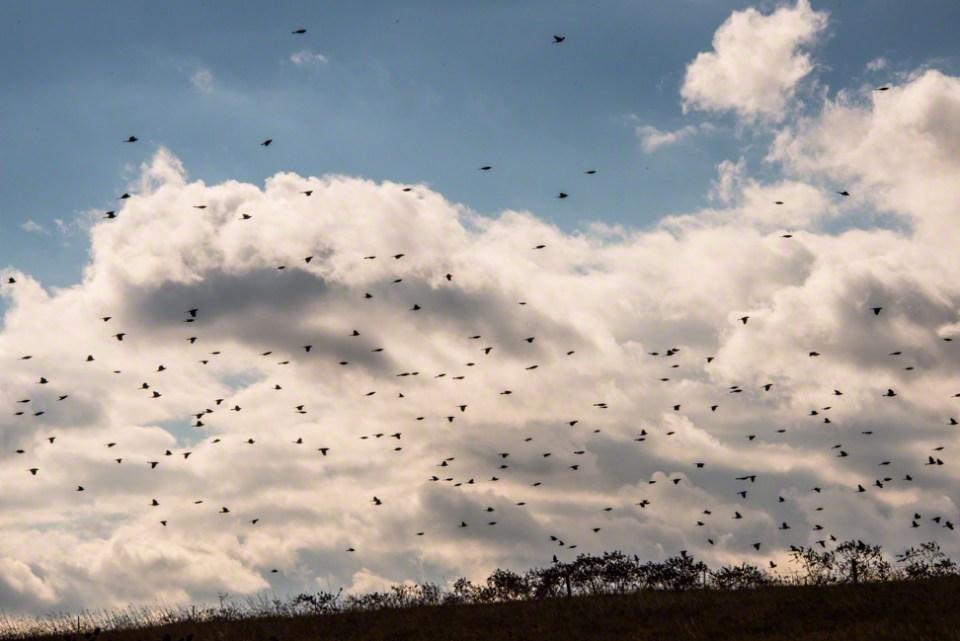 Blackbirds Moving Through 1