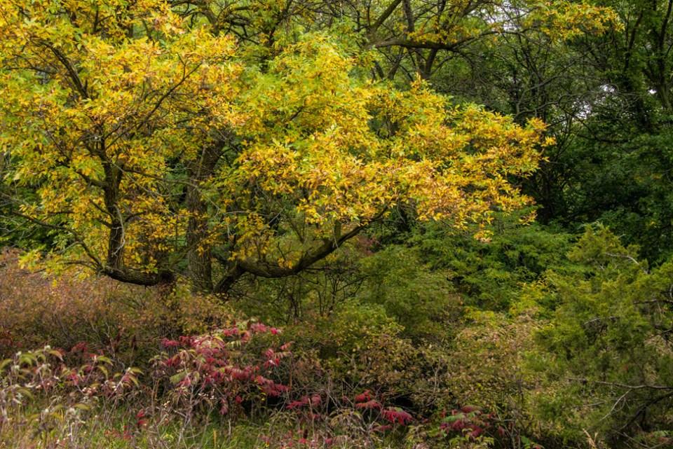 Crabapple Tree Turned Gold