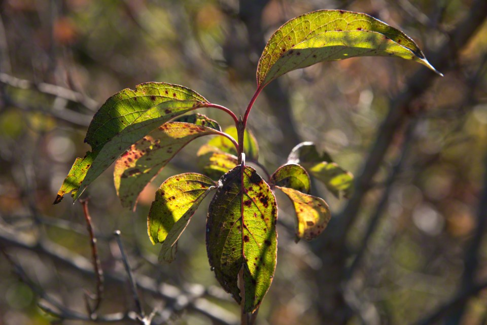 Dogwood Leaves Must Pass