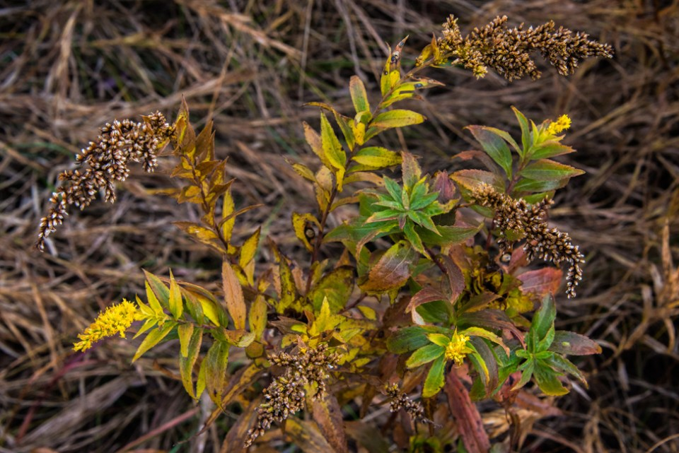 Frost Nipped Goldenrod Clump