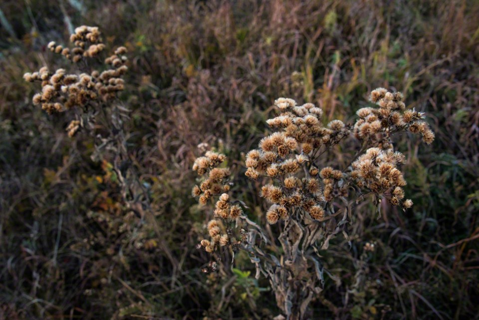 Fuzzy Seed Tops in Pre-dawn Light