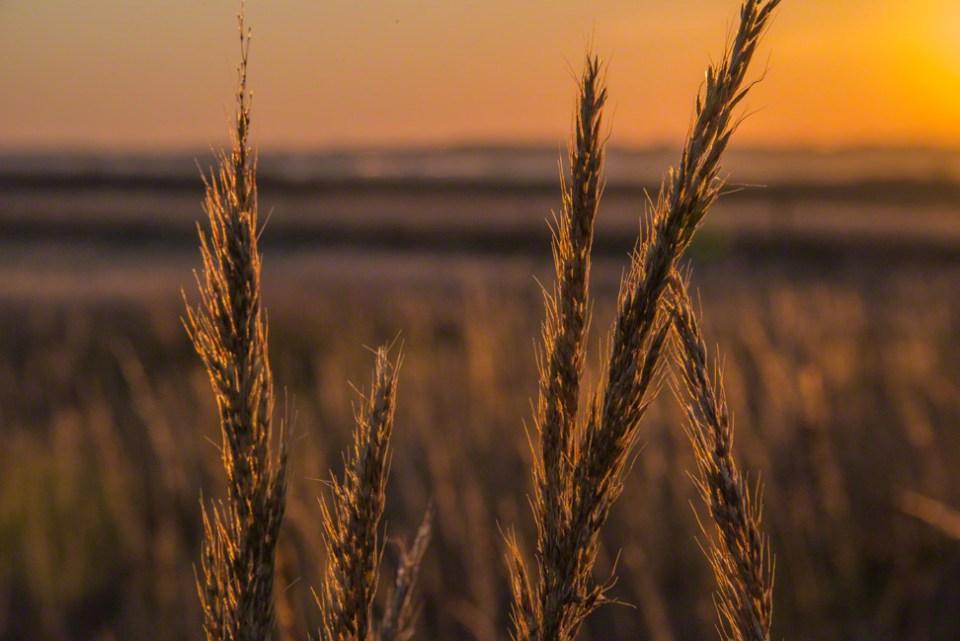 Golden Grass Heads Backlit