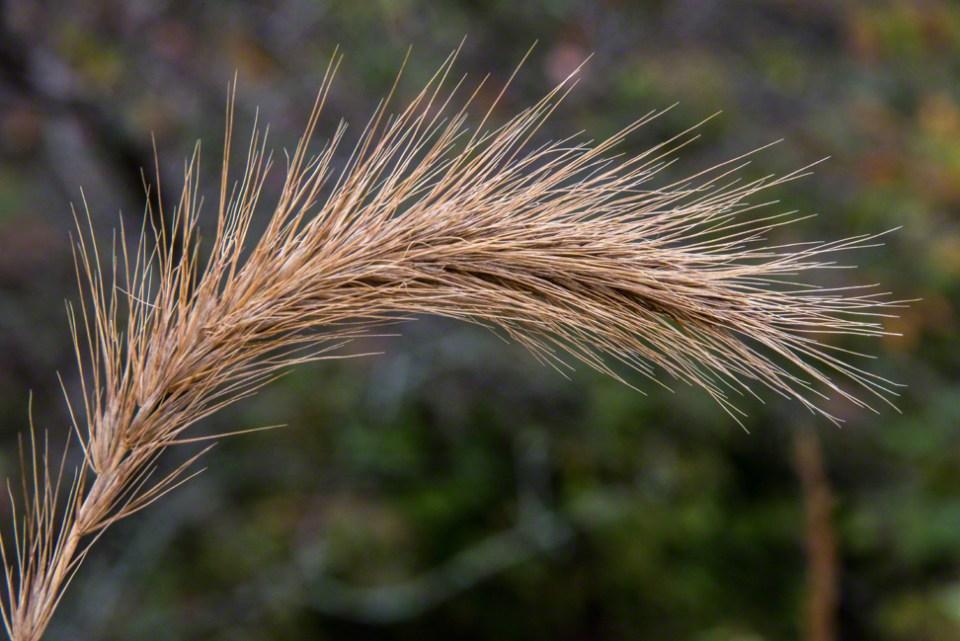 Grass Seed Head