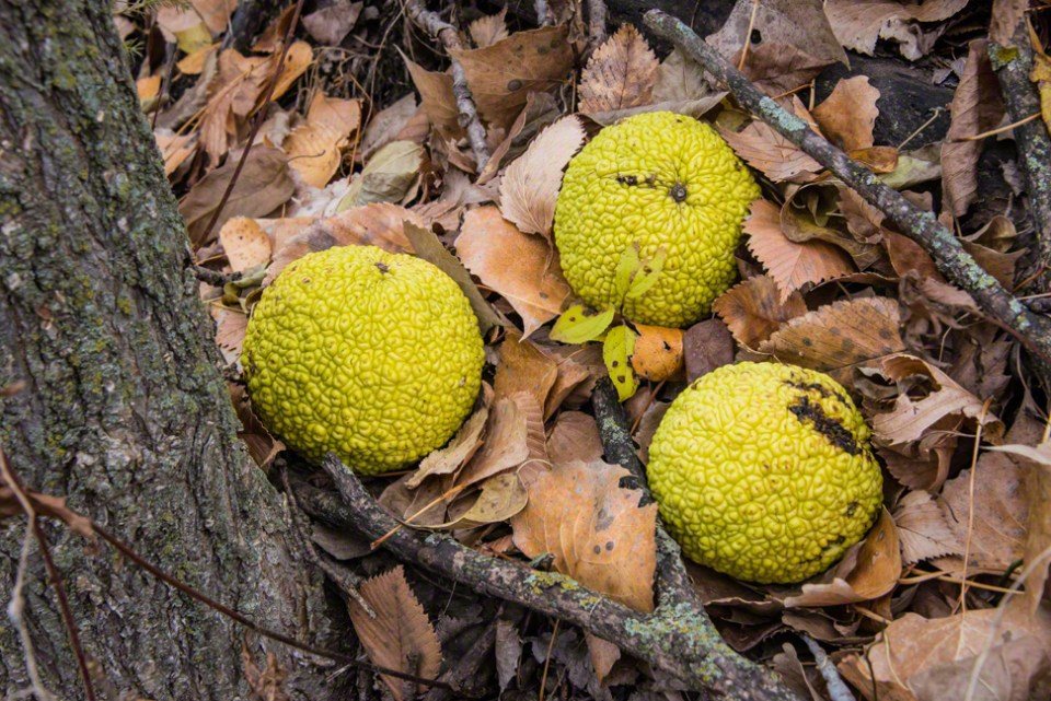 Hedge Apples on the Ground CU