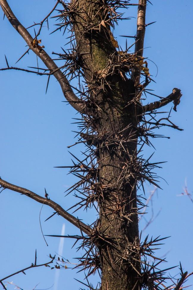 High on a Locust Tree