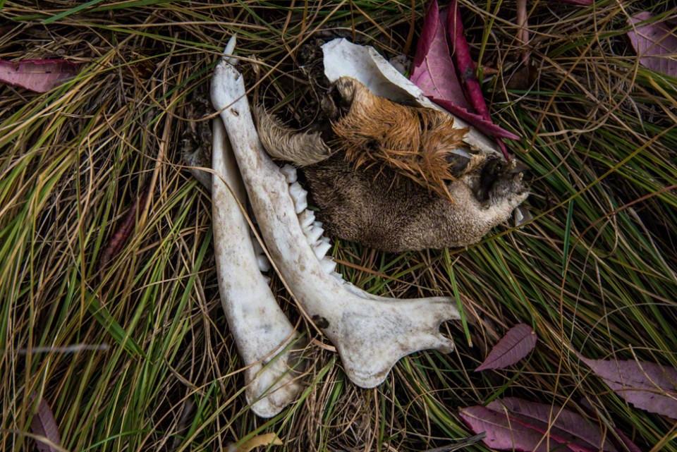 Kill Site - Mandibles and Fur