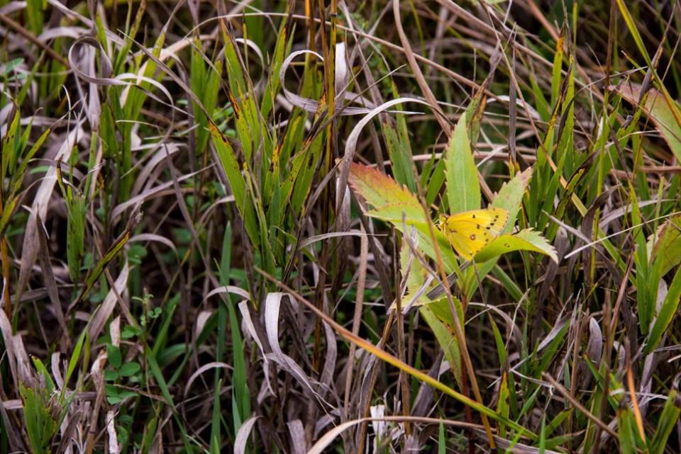 Orange Sulphur Wing Butterfly