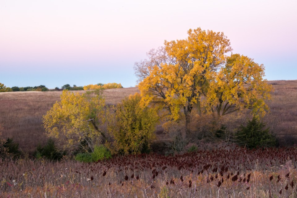 Pre-dawn Stand of Yellow Trees