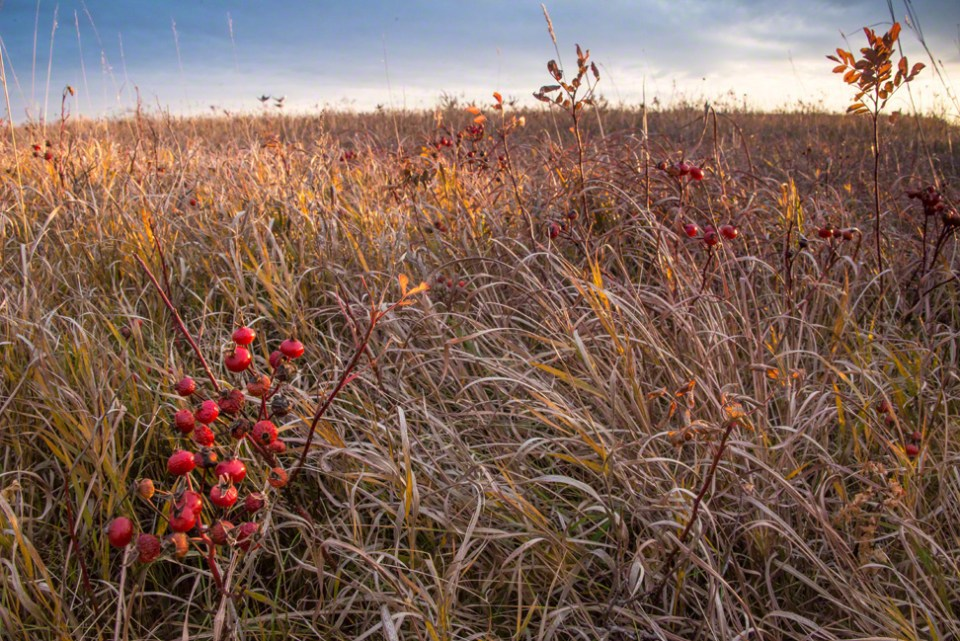 Rosehips on the Far Western Hill at Dawn