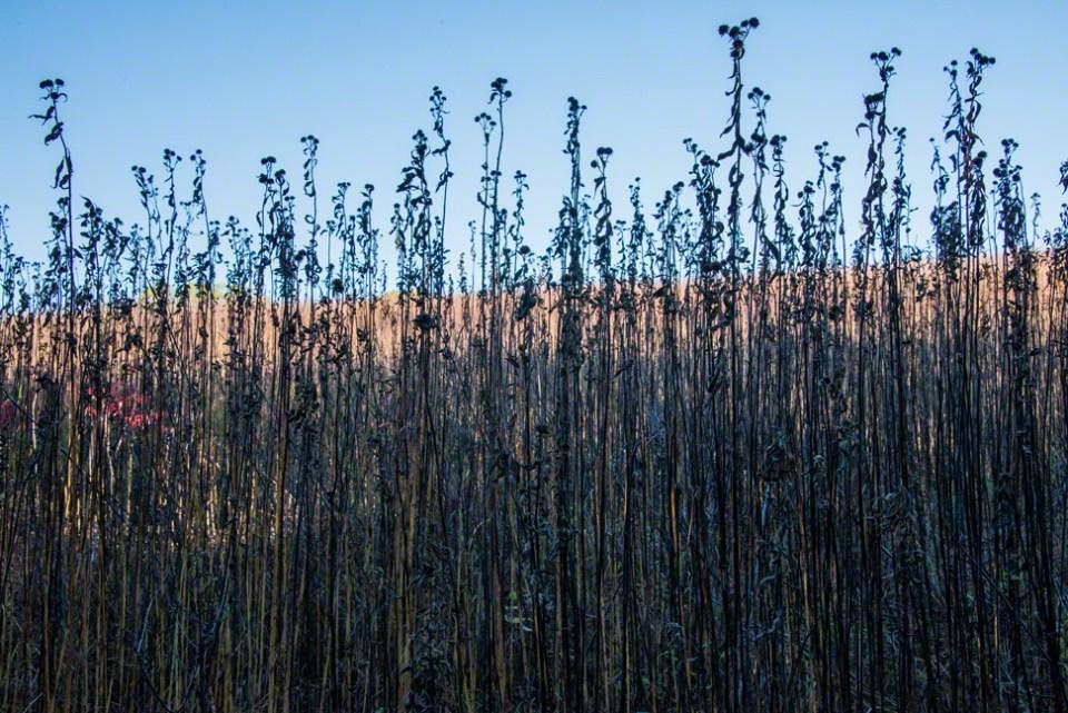 Sunflower Stalks Against a Bald Blue Sky