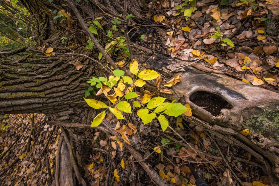 The Hollow Root with Fall Colors