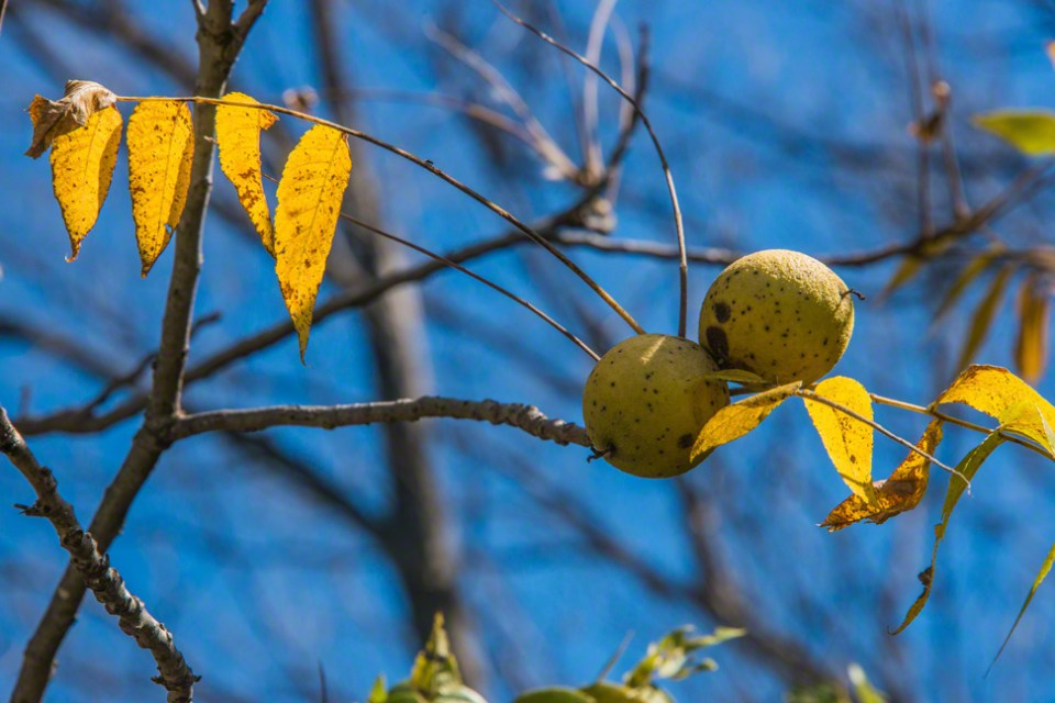 Two Walnuts and a Few Leaves
