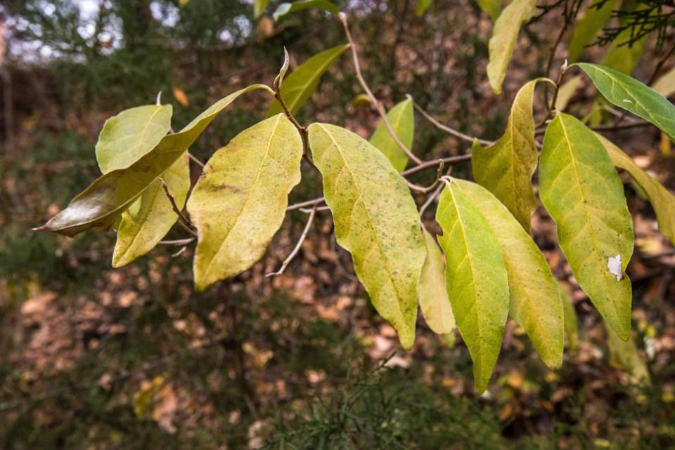 Waxy Leaves Still Green