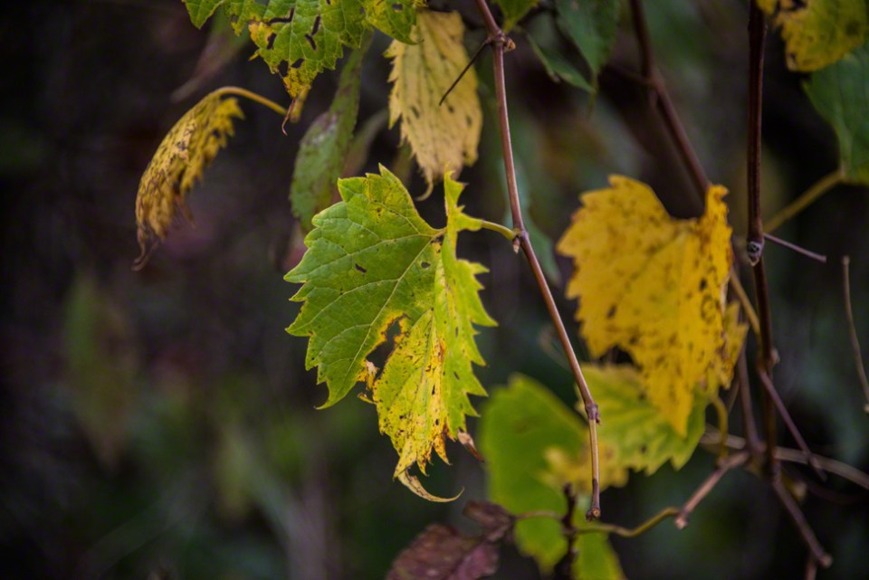 Wild Grape Leaf at the End of the Line