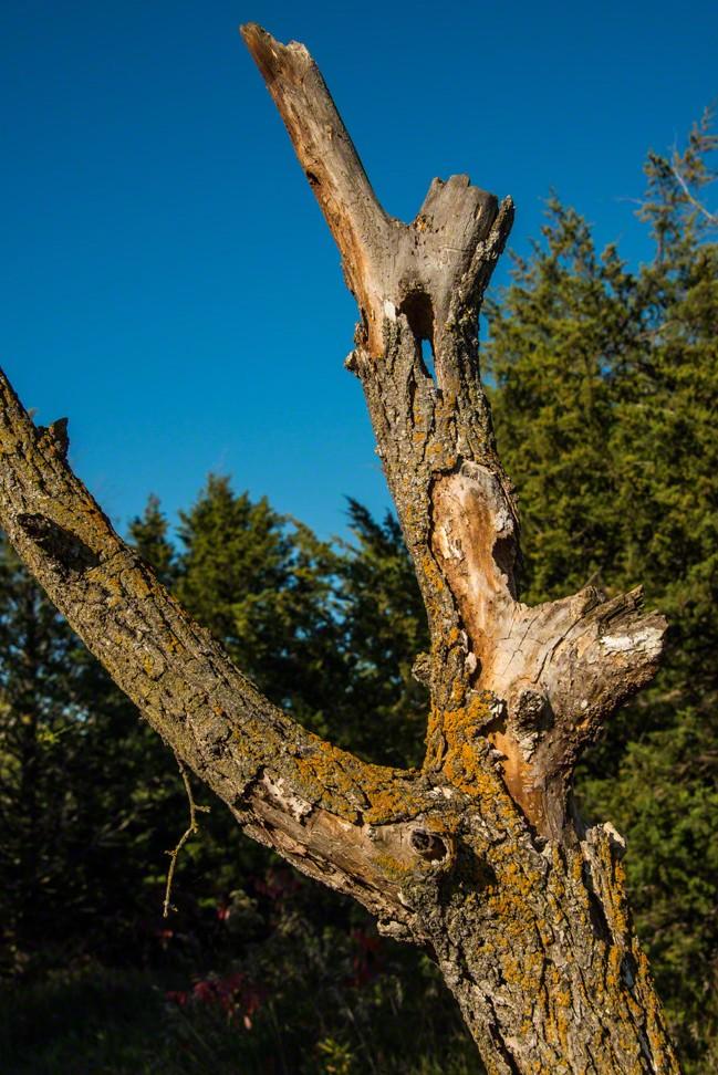 Woodpecker Worked Tree