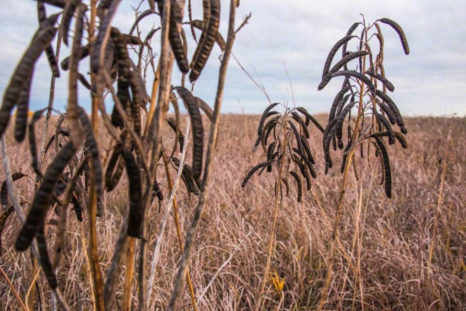 Prairie Pea Pods Under a Lead Sky