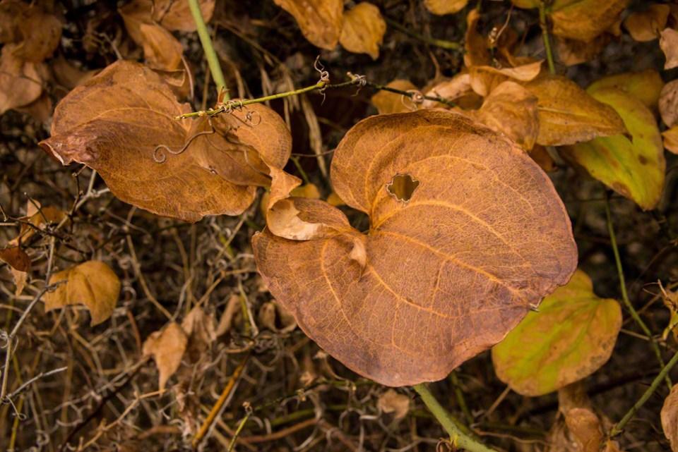 Buckthorn?  Orange Leafed Plant CU