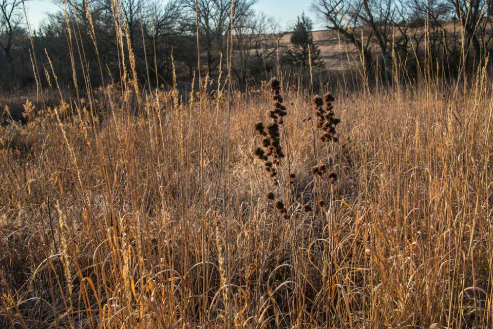 A Few Dark Seed Heads in Golden Grass