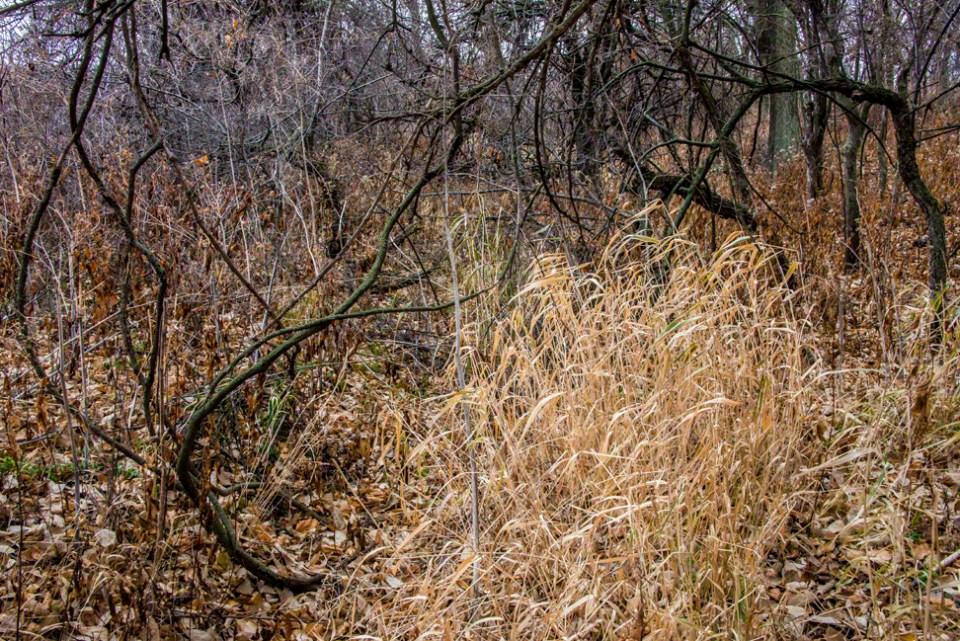Blond Grass - Dark Vines