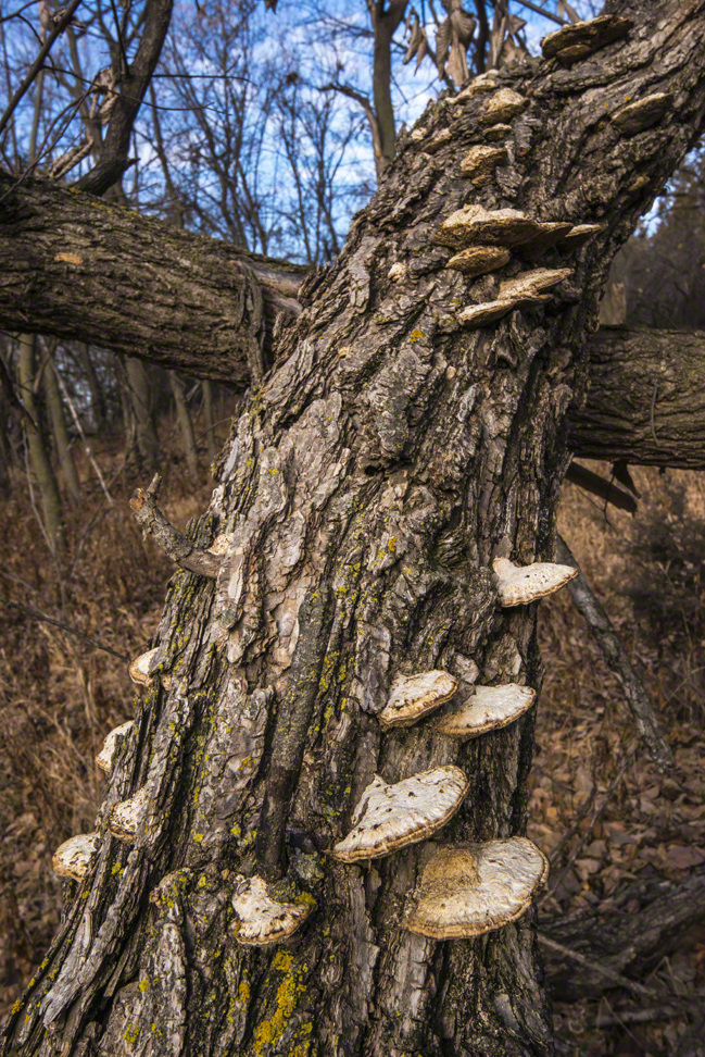 Dead Tree with Shelf Fungus Colony