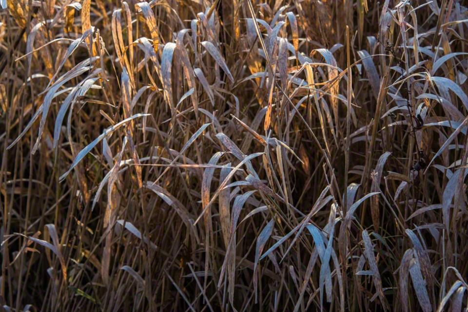 Delicate Shafts of Morning Light Through Brown Grass