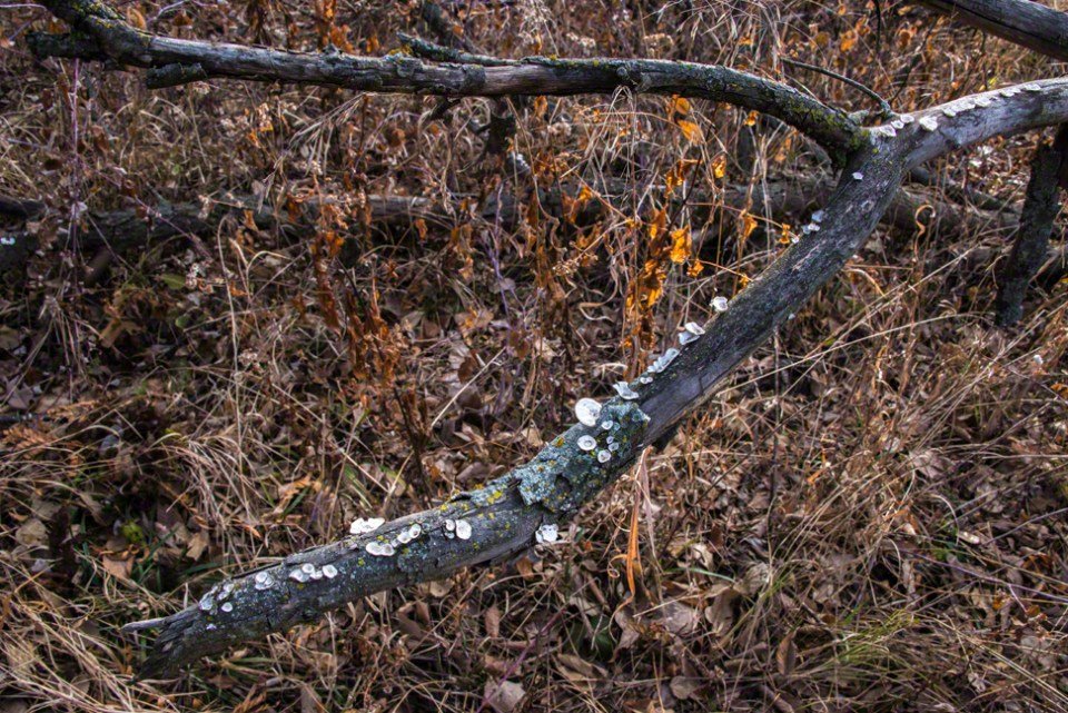 Down Tree with White Disc Fungus