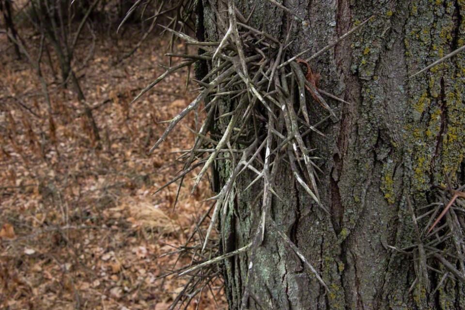 Elderly Thorny Locust Spikes