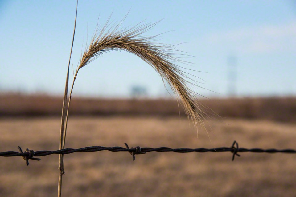 Foxtail and Barb Wire