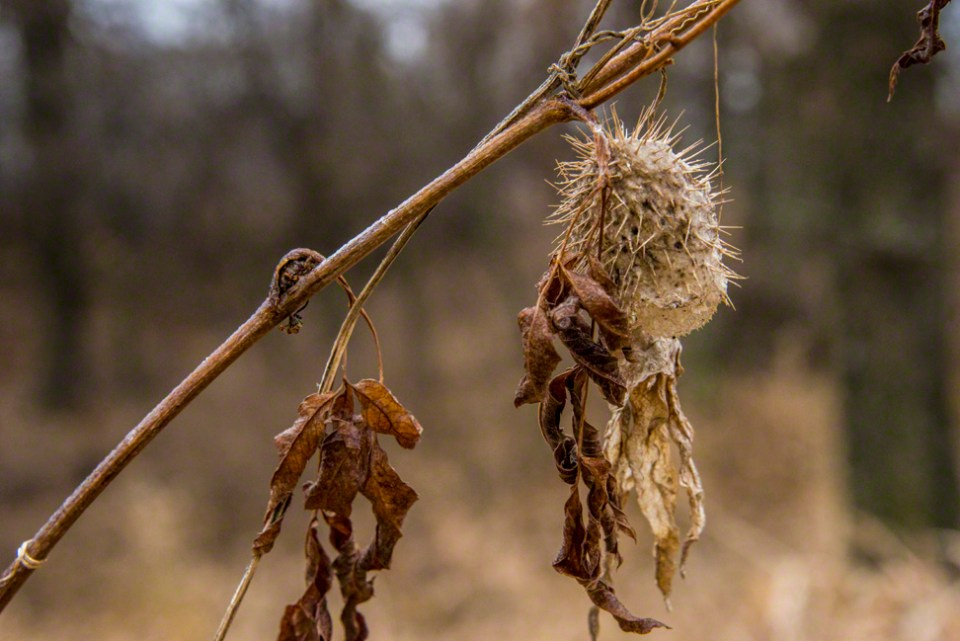 Spiky Seed Pod Gone Brown