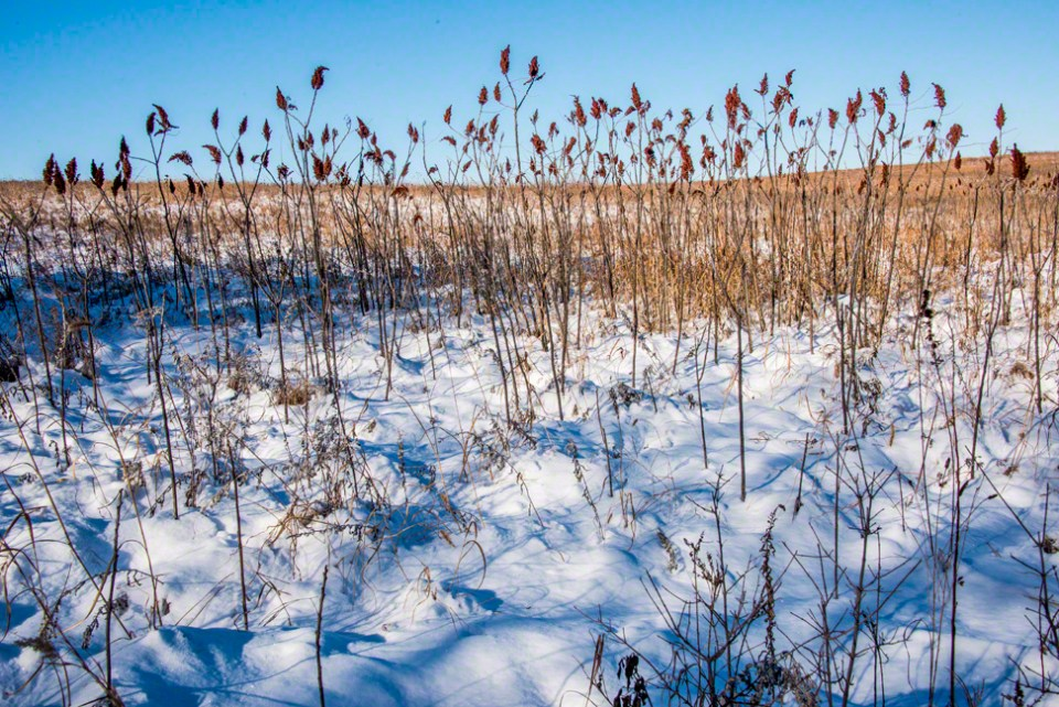 Sumac Stand in the Snow