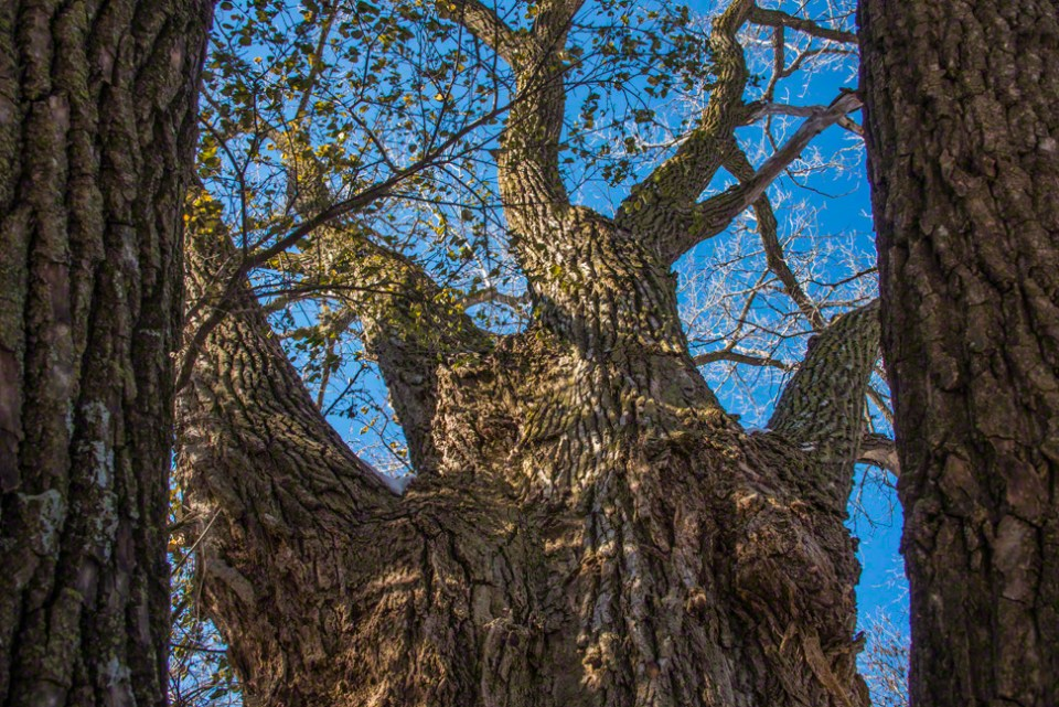 Up the Trunk of the Big Boy Cottonwood
