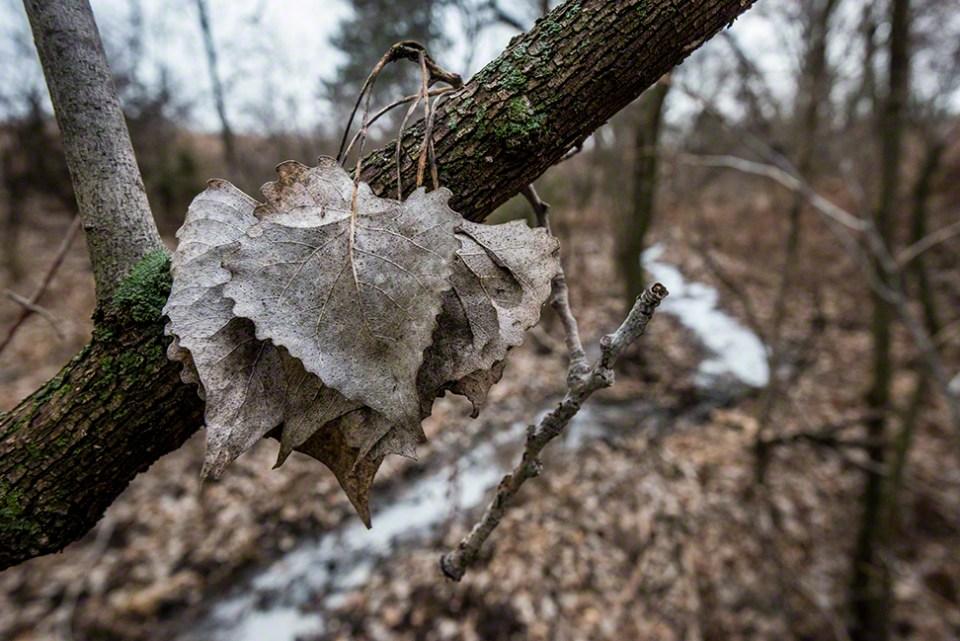 Hanging Cottonwood Leaves