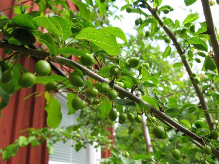 bullace. cherry plum, krikon
