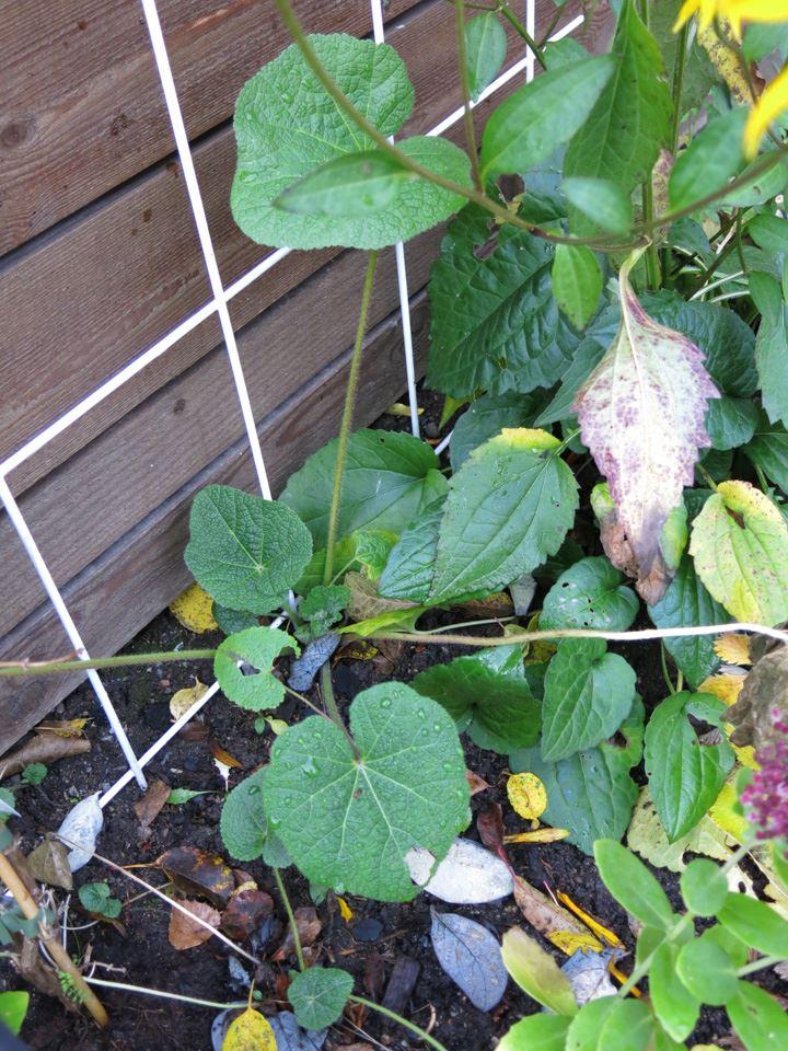 hollyhock, alcea rosea, stockros