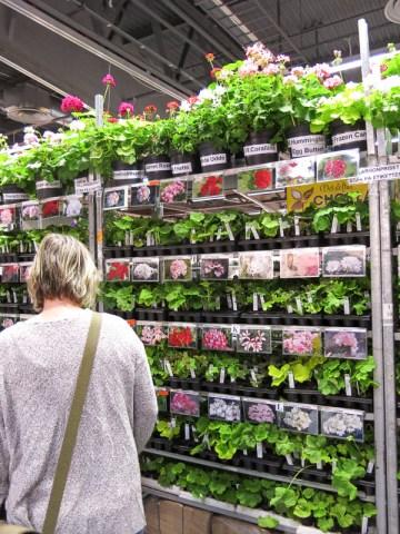 Pelargonia cuttings