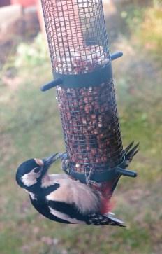 woodpecker_3