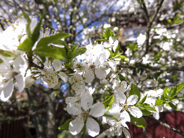 mirabelleflowers