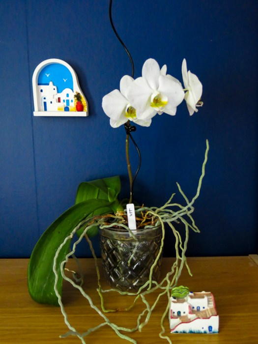orchid, bluewall