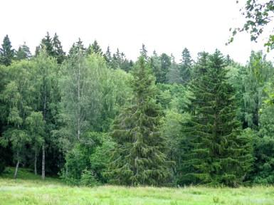 Huge fir-trees.