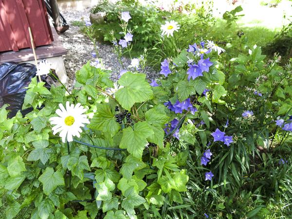 daisies, bluebells