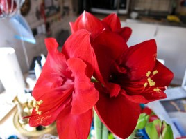 amaryllis_2 copy 2